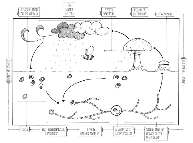 Fungi_Sexual_reproduction_cycle.png
