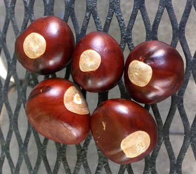 Buckeye seeds from last fall's harvest.