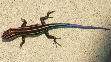 Cryptoblepharus egeriae (Blue-tailed skink): By U. S. Fish and Wildlife Service - Northeast Region - https://www.flickr.com/photos/usfwsnortheast/4679003422/, Public Domain, https://commons.wikimedia.org/w/index.php?curid=57407054