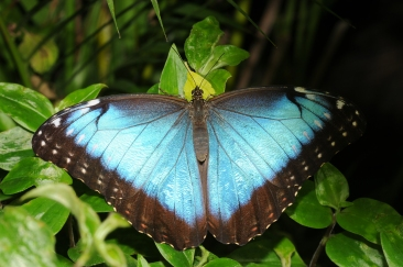 Morpho peleides (Blue morpho): By Thomas Bresson - Own work, CC BY 3.0, https://commons.wikimedia.org/w/index.php?curid=11877589