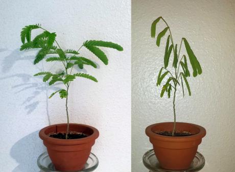 Mimosa plant