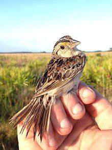 Adult_Florida_grasshopper_sparrow