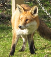 tame fox