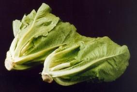 ARS_romaine_lettuce