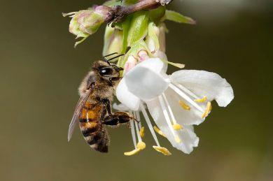 Apis_mellifera_-_Honeybee_02