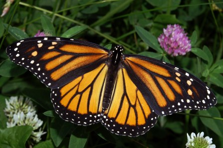 Monarch_In_May