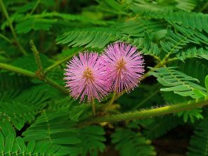 798px-Mimosa_pudica_003